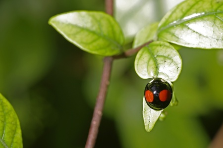lady bug is staying on the tree leaf