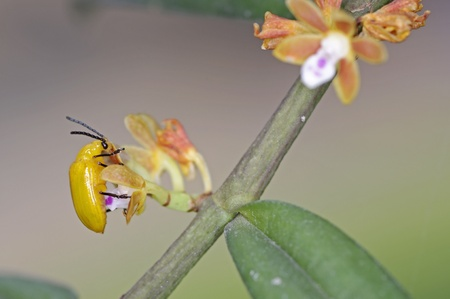 leaf beetle is staying on the small orchid flower
