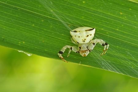 flower  crab  spider: flower crab spider is staying on grass leaf