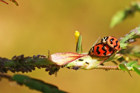 lady bugs are mating on the tree leaf Stock Photo