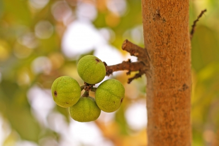 fig fruits on the ficus tree in the garden photo
