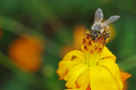 mutualism: a bee is collecting nectar form the flower
