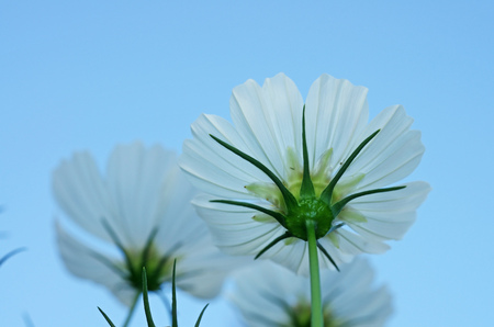 lower view of the cosmos flower under the blue sky photo