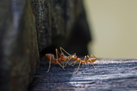 contacting: weaver ants are contacting each others Stock Photo
