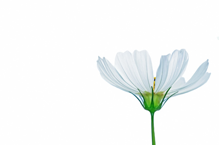 cosmos flower isolated in the white background photo