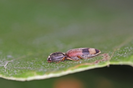 elateridae: click beetle is staying on the green leaf