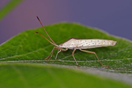 hemiptera: a bug is staying on the green leaf Stock Photo