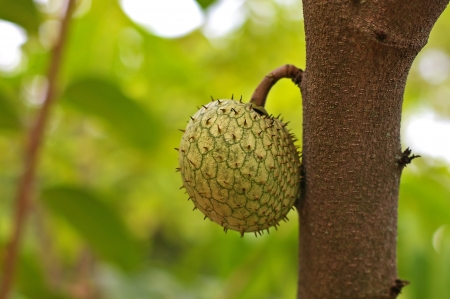 sop: sour sop fruit on the tree in the garden Stock Photo
