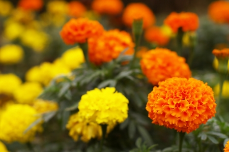 marigold flowers in the flora garden photo