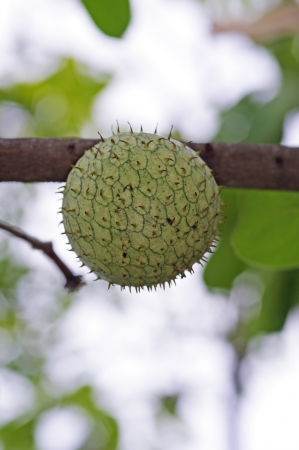 sop: sour sop fruit on the tree branch in the garden