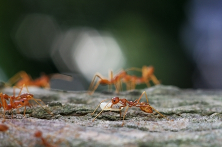 mutualism: weaver ant is carrying an egg on tree bark