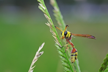 potter wasp is staying on grass shoot photo