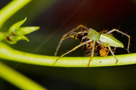 the kills: lynx spider kills sting-less bee in the tropical forest