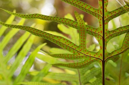 sporen: Wedel der Farn mit Spore in tropischen Wald