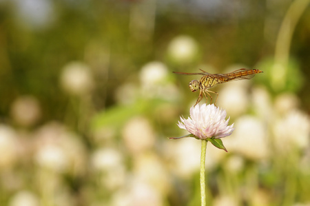 dragonfly is resting on the bachalor s button flower photo