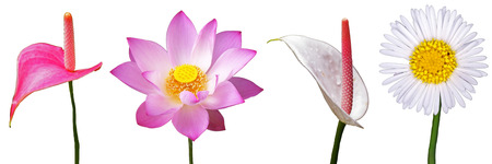 lotus and flamingo flowers are isolated on white background  photo