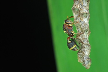 paper wasp is staying on the hive under the leaf photo