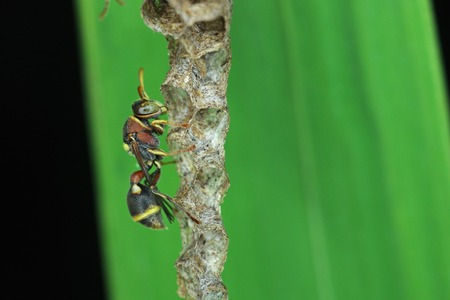 paper wasp: paper wasp is staying on the hive Stock Photo