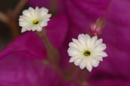 stigmate: stigmate de la fleur de Buganvilia
