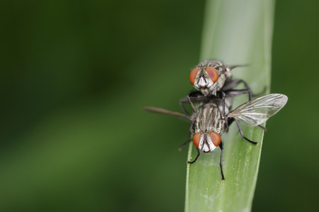 flesh: flesh flies are mating on the grass leaf; front view