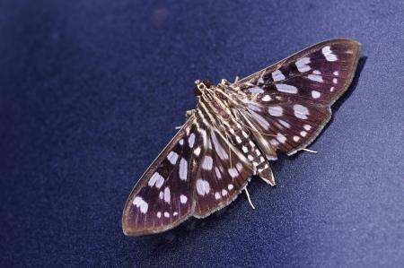blue metallic background: Crambit moth is staying on the blue metallic background