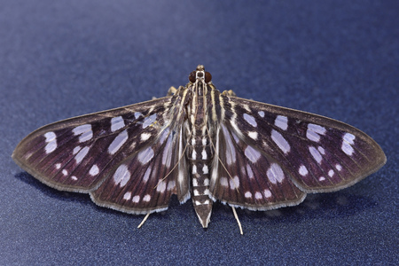 arthropod: Crambit moth is staying on the blue metallic background