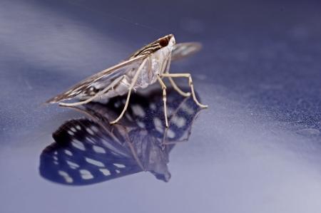 blue metallic background: Crambit moth with shadow is staying on the blue metallic background