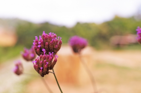 agricultural area: purple flowers on the highland agricultural area