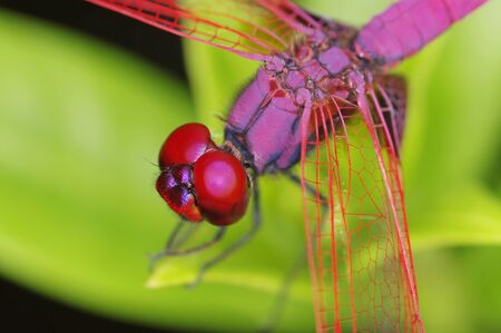 Crimson Marsh Glider dragonfly detail of head and thorax