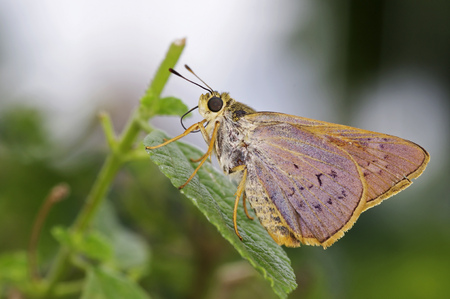 proboscis: skipper butterfly is showing the proboscis Stock Photo