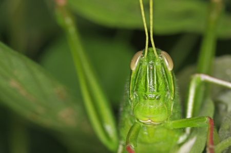 front view of the grasshopper in forest photo