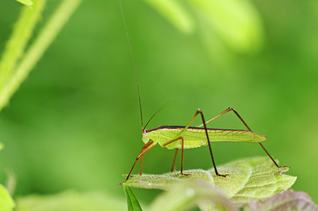 long horned grasshopper on the tropical forest photo