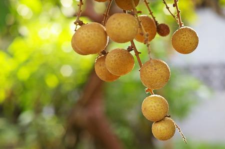 group of longan fruits with bokeh