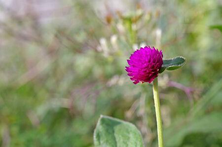 bachelor s button: violet globe amaranth flower in the garden