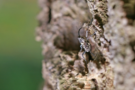 curculionidae: snout beetle is climbing on the tree bark