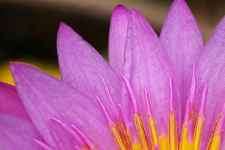 anther: petals and the anther of the violet lotus flower Stock Photo