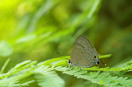 Plains Cupid butterfly is staying on the mimosa leaf