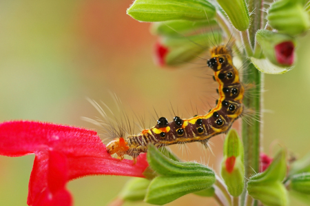 butterfly worm is eating the red salvia flower photo