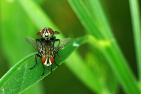 flesh: flesh fly are mating on the green leaf; front view