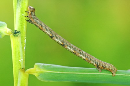 looping: close up of the looping catterpillar on the tree leaf