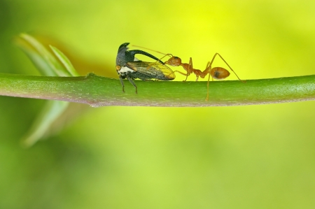 mutualism: a weaver ant is taking care the Thorn Mimic Treehopper Stock Photo