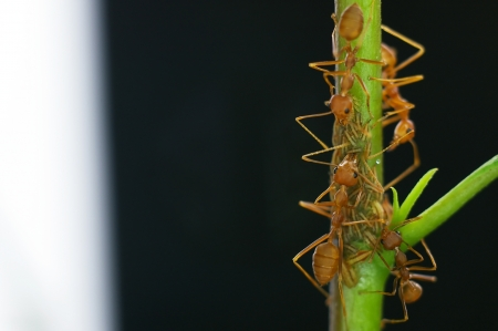 mutualism: weaver ants are taking care the little aphids Stock Photo
