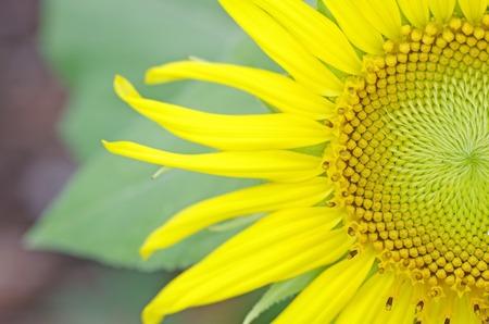 stamens: closeup to complex stamens of sunflower  Stock Photo