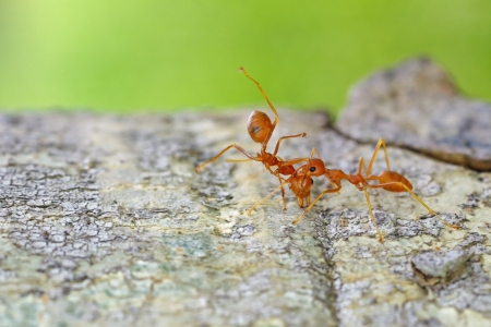 mutualism: a weaver ant is carry the dead body of the another ant on the tree bark Stock Photo