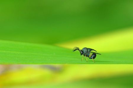 hymenoptera: big antenna hymenoptera on the grass leaf Stock Photo