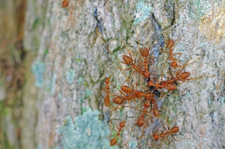 mutualism: weaver ants are attacking and killing the other ant species
