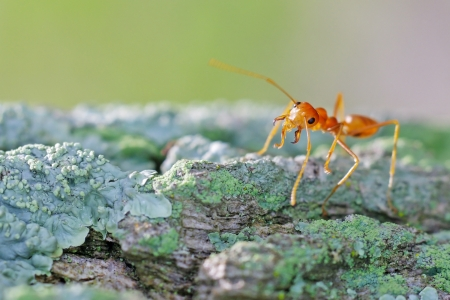 mutualism: a weaver ant is staying on the tree bark with lichen cover Stock Photo