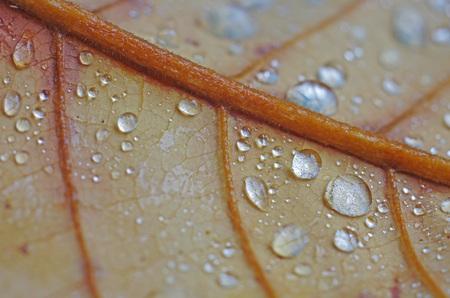 senescence: water droplets on the senescence leaf