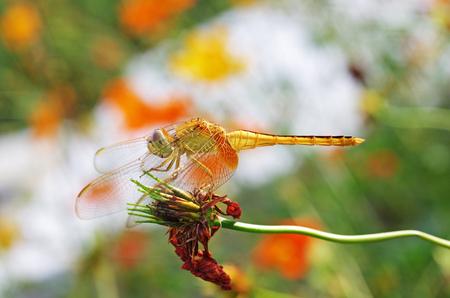 senescence: dragonfly is resting on senescence flower