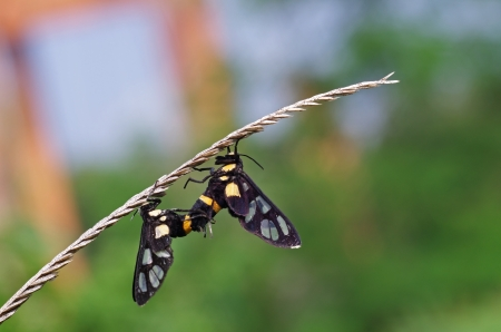 wasp moths are mating on the grass shoot photo